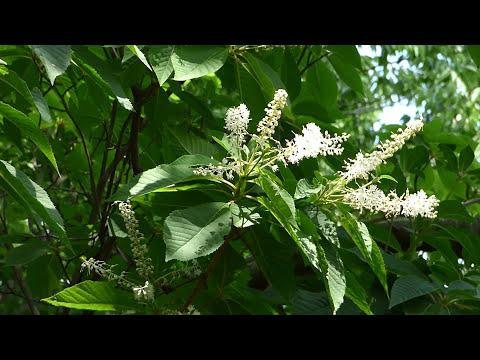 野田市の樹木 リョウブが咲いていましたH2977