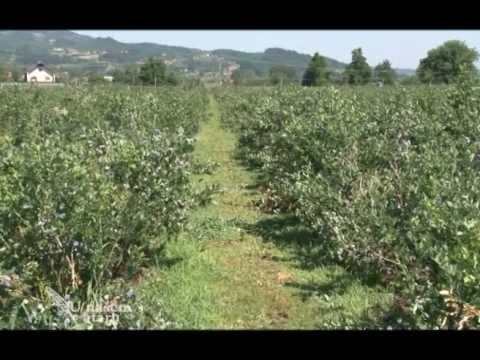 Proizvodnja borovnica u selu Stupcevici kod Arilja U nasem ... Sadnja