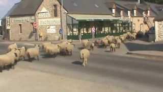 Un troupeau des moutons près du Mont Saint-Michel, Normandie (France)