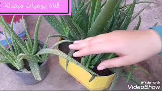 زراعة الألوفيرا فى المنزل وأكثارها بكل سهولة وطرق العناية بها