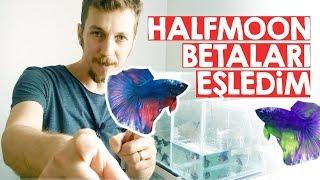 Halfmoon Beta Balığı Üretimi - 1
