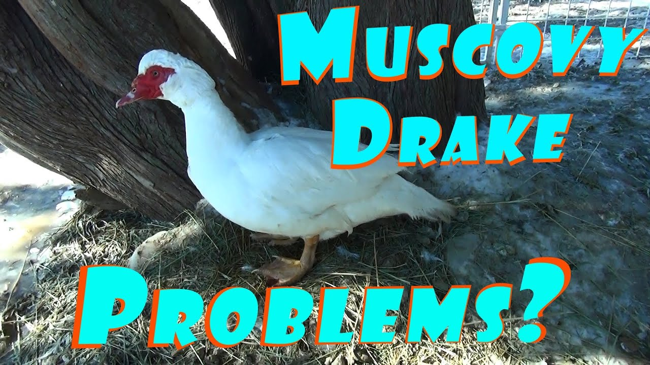 Muscovy Drake Problems  U0026 Ms  Icecovy The Female Muscovy Duck Seriously Improving  102 Breeding