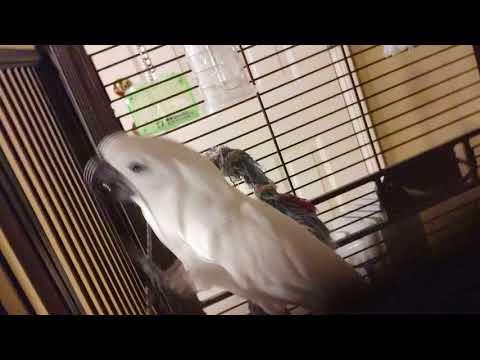 Have you seen Joseph sing & dance yet??my cute cockatoo boy😍😍😍