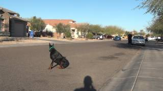 Dog Training Tips Arizona - Off Leash Obedience - European Doberman Pinscher - Greta