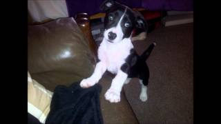Puppy :) Border Collie Mix Jack Russell Terrier