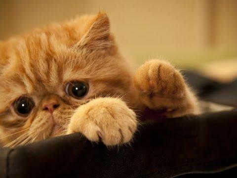 Смешные кошки. Лучшее фото смешные кошки экзоты. - YouTube