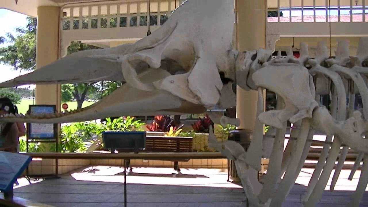 Sperm Whale Skeleton Youtube