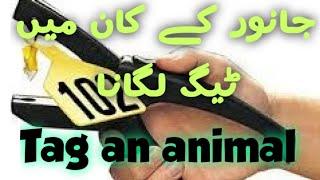 How to Tag a cow || جانوروں کے کان میں ٹیگ لگانا || पशु के कान में टैग लगाना