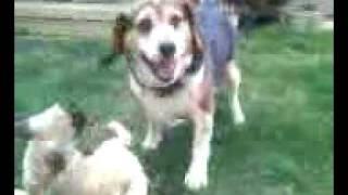 Beagle Vs Pug 2