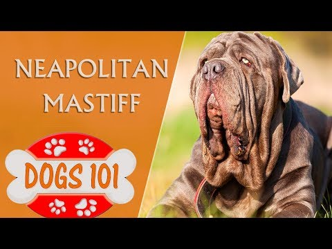 Dogs 101 - NEAPOLITAN MASTIFF - Top Dog Facts About the NEAPOLITAN MASTIFF