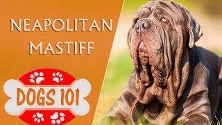 Dogs 101  NEAPOLITAN MASTIFF  Top Dog Facts About the NEAPOLITAN MASTIFF