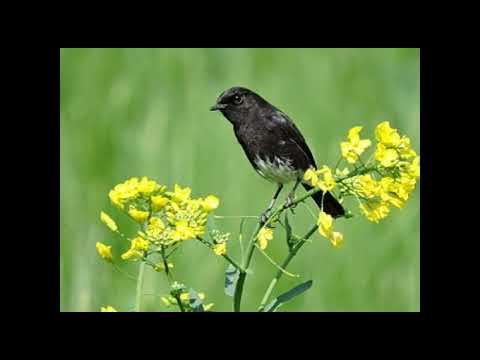 Suara Burung Decu Kembang Youtube