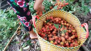 RA VƯỜN xem ANH 3 HÁI CHÔM CHÔM NHÃN THẤY MÊ | Vietnam Travel Tour | Miền tây nắng ấm