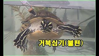 거북이의 심기를 건드리면 안되는 이유. (+레드벨리쿠터의 습성)