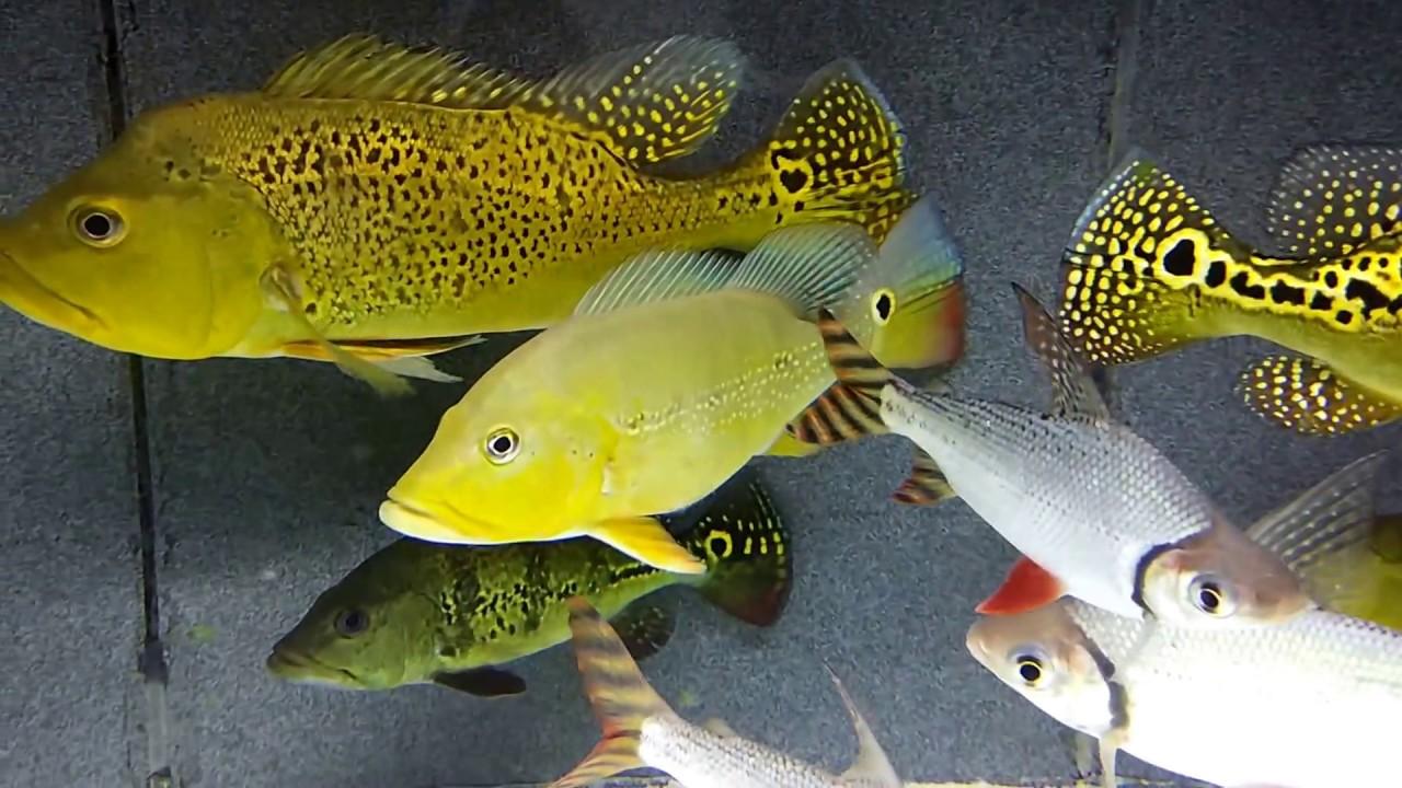 peacock bass kelbery a...