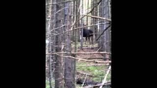 Moose encounter in Milan,  NH.