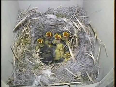 Blue tit nest box camera 2011