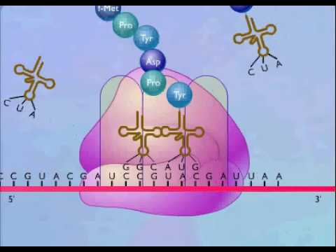 Translation protein synthesis animation
