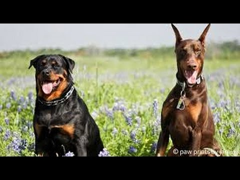 Dobermann and rottweiler