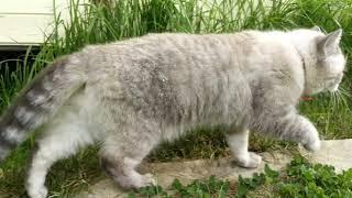 Шотландский кот, скоттиш страйт. Белый.