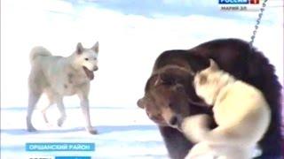Вести Марий Эл - В Марий Эл прошли соревнования охотничьих собак по подсадному медведю