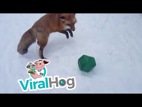 This Fox Can Fetch