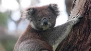 Top 4 Facts About Koalas Episodes 1