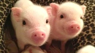 Cute Micro Pig - A Cute Mini Pig Videos Compilation 2015