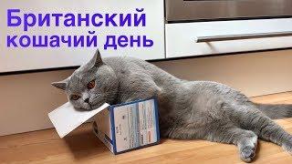 ЧТО ДЕЛАТЬ КОТУ ЦЕЛЫЙ ДЕНЬ? Британский кот / BRITISH CAT