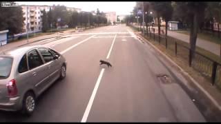 Пьяный кот перебегает дорогу против правил