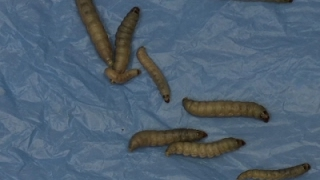 Raw: Plastic-Eating Caterpillar Could Eat Waste