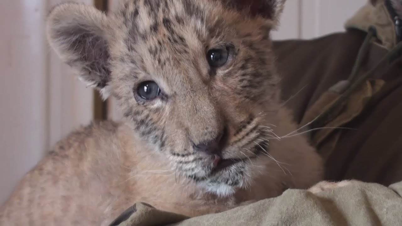 Unbelievably cute rare liger cub born in Russia