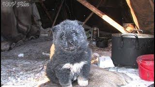 Cute Chukchi Husky Puppy / Щенки чукотской лайки