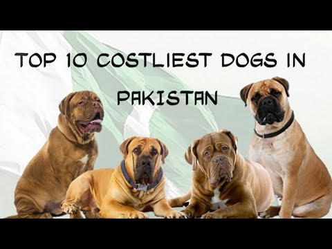 Top 10 Most Expensive Dog Breeds In Pakistan