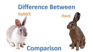 Difference between Rabbit and Hare | Rabbit vs Hare comparison