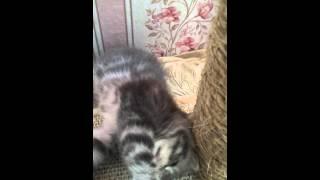 Продажа котят Скоттиш-фол и скоттиш-страйт