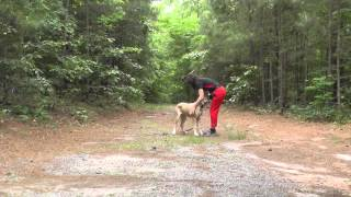 Dog Training: Great Dane Puppy, Molly, Day 2, Go To Place, Recall, Follow