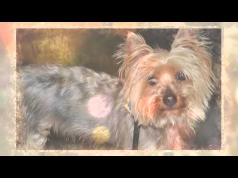 Yougene An Aggro Yorkie For Adoption In Nyc Youtube