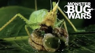 Most Savage Katydid Attacks | MONSTER BUG WARS