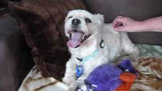 Bundy, Maltese X Australian Silky Terrier-has Been Adopted