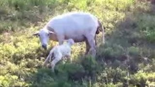 Katahdin Sheep Giving Birth~The Miracle Of Life