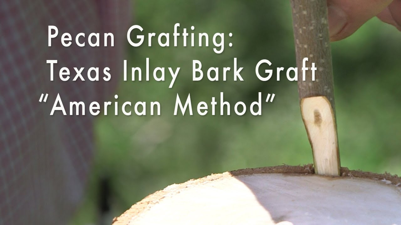 "Pecan Grafting: Texas Inlay Bark Graft, ""American Method"""