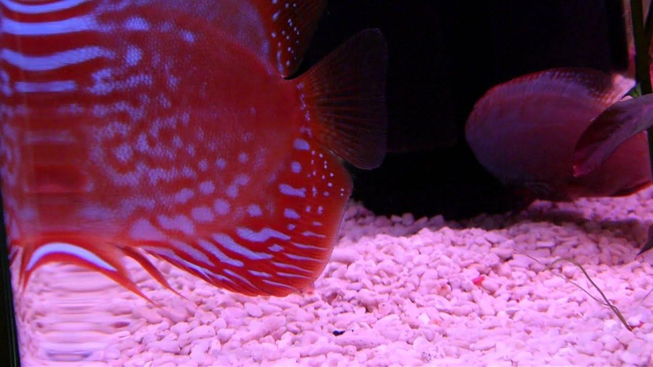 Cardinal Tetra eaten by my Discus Fish - YouTube