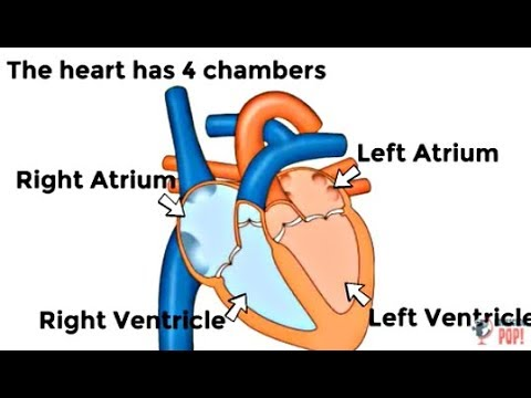 How The Human Heart Works For Kids Classroom Video Youtube