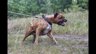 Pitbull Dog Attack Video Youtube - Why Should Not Buy Pitbulls
