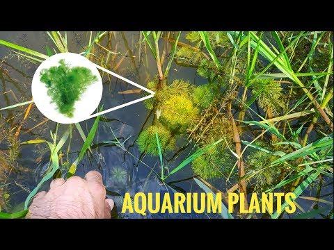 Collecting Wild Aquarium Plants For Planted Aquarium| Wild Aquatic Plants | CrazyF India