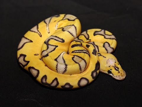 25 Of The COOLEST Ball Python Morphs Today!!  Snake Lovers... Watch This!!