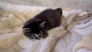 Сибирский котёнок  Пухлик в добрые руки.AVI