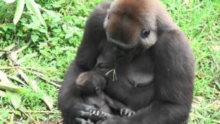 Gorilla mums