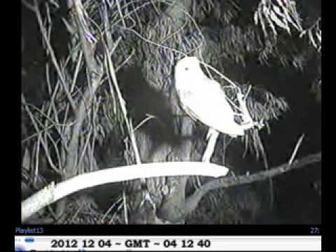 Barn owl screeching on branch, has a preen, leaves ...